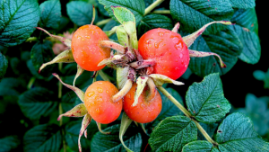 Amazing Rosehip Oil for Natural Skin Care